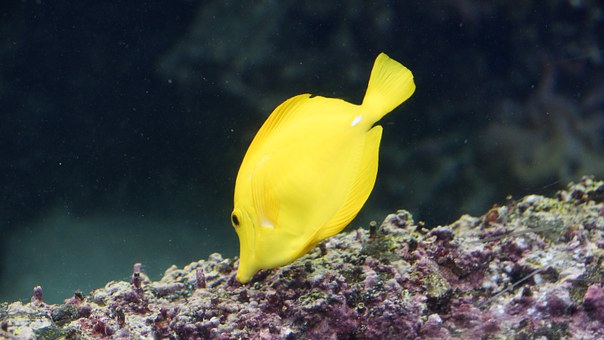 Surgeonfish, Fish, Yellow Tang, Zebrasoma Flavescens