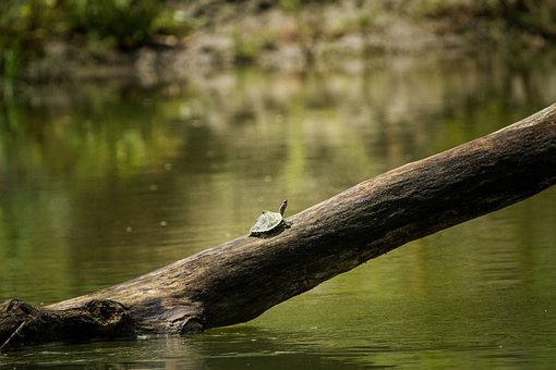 Assam, Turtle, Roofed, India, Water, Natural, Indian