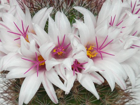 Cactus, White, Flowers, Bloom, Mammillaria Albicans