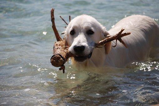 Retriever, Dog, Golden, Happy, Pet, Animal, Summer
