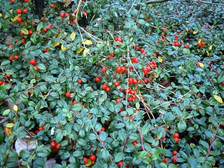Bush, Ground Cover, Berry, Berries, Red