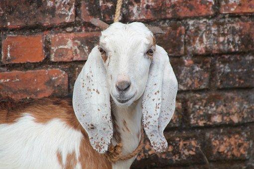 Goat, Sacrificial Animal, Temple, Assam