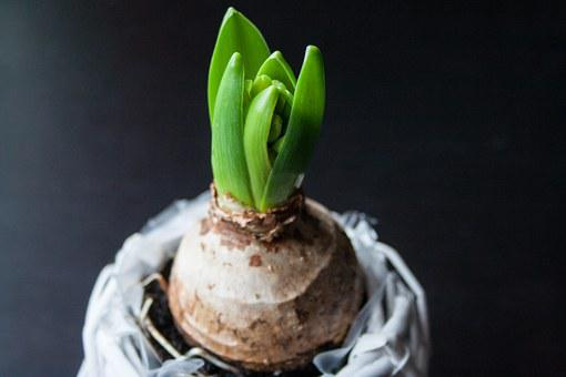 Hyacinth, Onion, Flower, Spring, Plant, Nature, Green