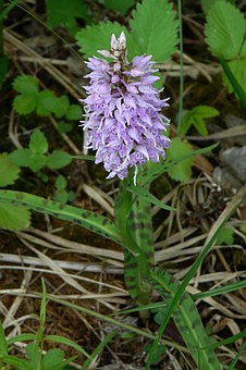 Heath Spotted Orchid, Orchid, Protected Plant