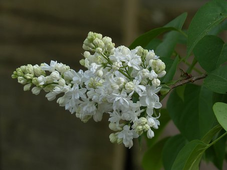 Common Lilac, Flowers, White, Plant, Bush