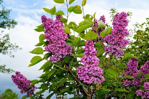 Lilac, Ornamental Shrub, Flowers, Blossom, Bloom