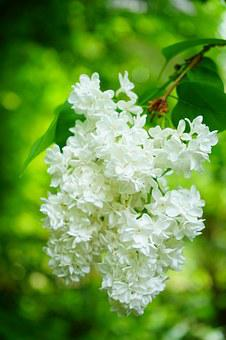 Lilac, Flowers, White, Common Lilac, Plant, Bush