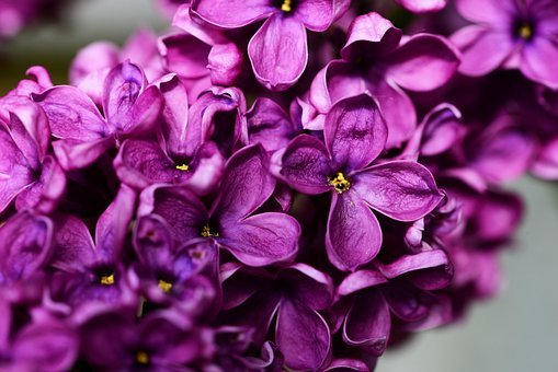 Syringa Vulgaris, Purple Lilac, Lilac, Flower, Close