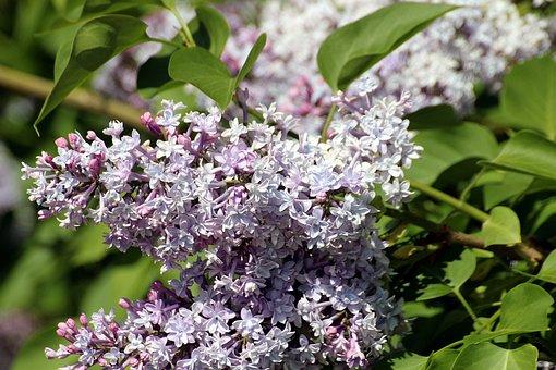 Lilac, Syringa, Genus, Oleaceae, Syringa Vulgaris