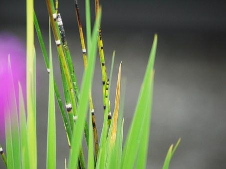 Dwarf Bamboo, Background, Grass, Decorative, Bamboo