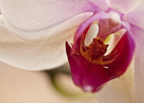 Orchid, Orchis, Flower, Blooming, Flowering