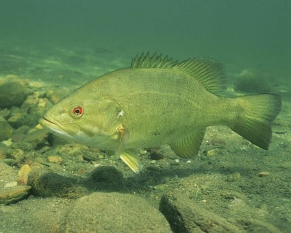Bass, Smallmouth, Fish, Underwater, Resolution, High