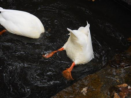 Ducks, Diving, Water, Animal, Animal World