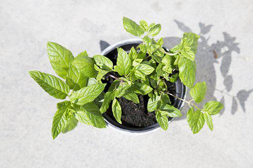 Cocktail, Garden Plant, Gardening, Green, Herbs, Leaves