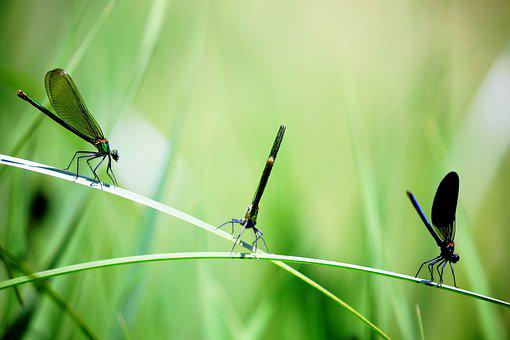 Close-up, Damselflies, Insects, Macro