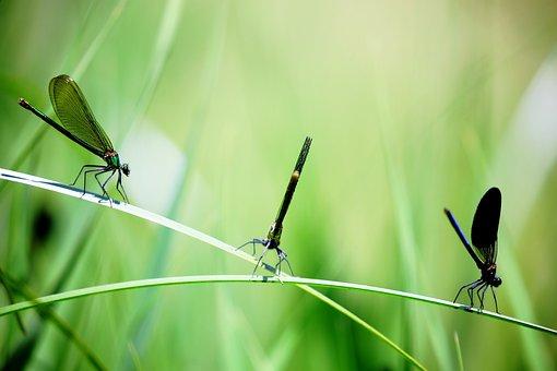 Close-up, Damselflies, Insects, Macro