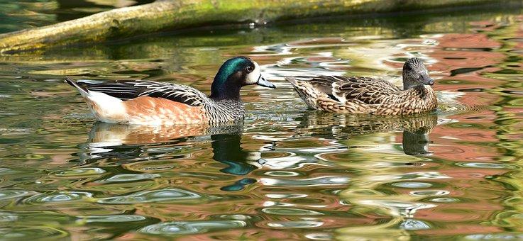Ducks, Pair Of Ducks, Water, Couple, Nature, Bill