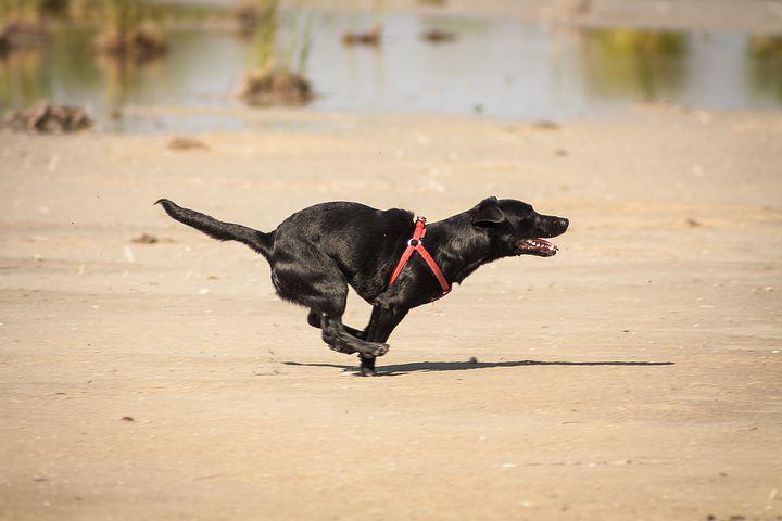 Cheerful, Dog, Runs, Puppy, Beach, Animal, Fun, Jogging