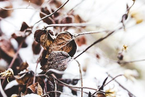 Withered, Leaf, Leaves, Nature, Winter, Froze, Frozen
