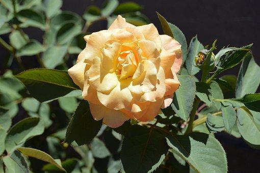Chris Evert Rose, Rose, Flower, Full Bloom, Blossom