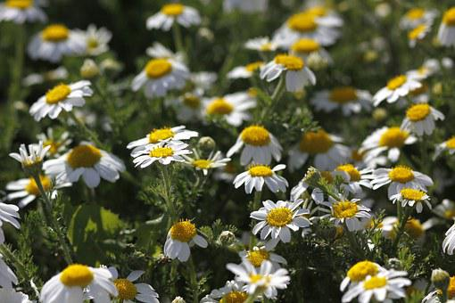 Flowers, Daisies, Spring, Nature, Prato, Green, Yellow