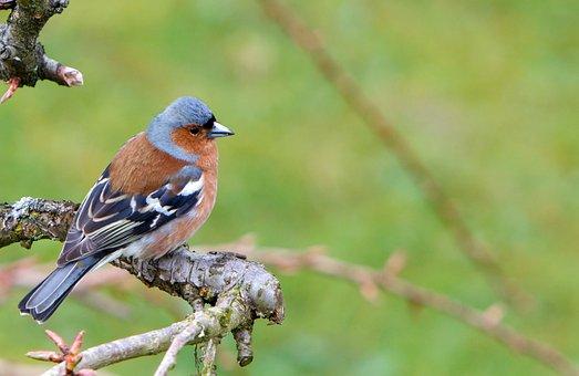 Chaffinch, Bird, Wildlife, Animal, Nature, Garden