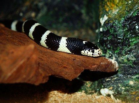 Chain Natter, Natter, Snake, Lampropeltis Getula