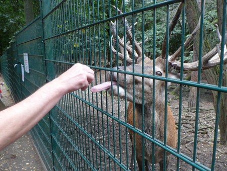 Tongue, Hirsch, Animal World, Nature, Wild, Forest