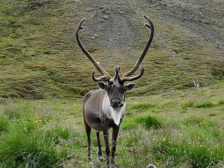 Reindeer, Iceland, Antler, Ungulate