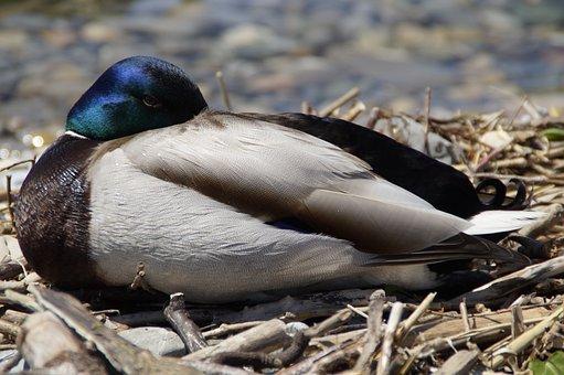 Drake, Sleep, Duck, Mallard, Duck Bird, Water Bird