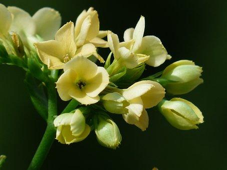 Kalanchoe Blossfeldiana, Flowers, Yellow, Bright Yellow