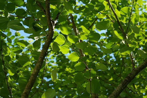 Leaves, Green, Japanese Kuchenbaum