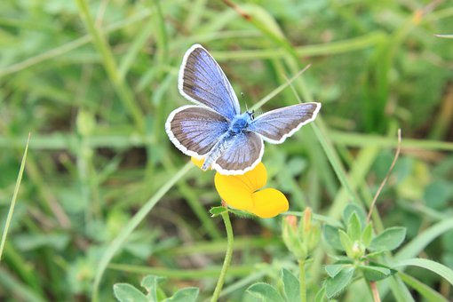 Blue, Butterfly, Flowers, Icarus, Lycaenidae