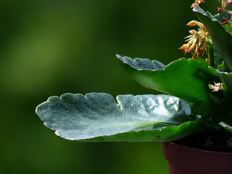 Kalanchoe Blossfeldiana, Faded, Kalanchoe, Flora