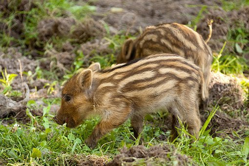Animal, Baby, Boar, Brown, Cute, Fur, Grass, Hair, Hog
