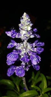 Sages, Salvia, Flowers, Purple Flowers, Purple