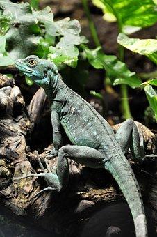 Frontal Lobe Basilisk, Basilisk, Lizard