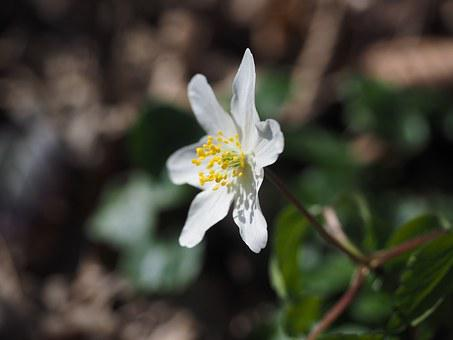 Wood Anemone, Blossom, Bloom, Flower, White