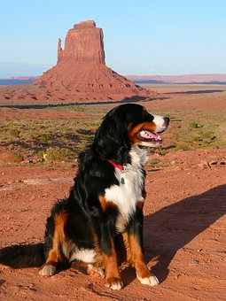 Bernese Mountain Dog, Canine, Dog, Animal