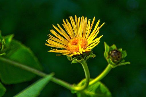 Dandelion, Beautiful, Plant, Wild Flowers, Yellow