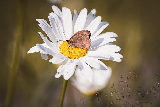 Marguerite, Composites, Leucanthemum, Flower, White