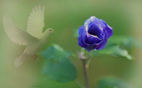 Flower, Tender, Fog, Blossom, Bloom, Rose, Plant, Close