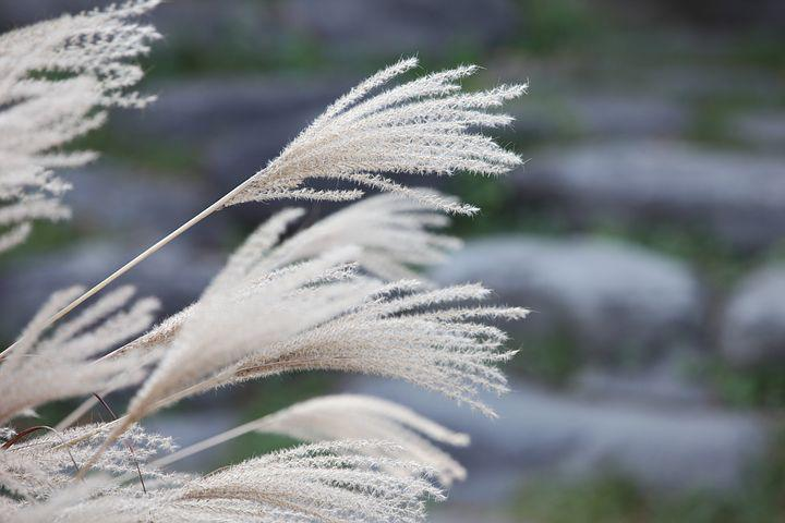 Reed, ヨシ, 芦 苇, Common Reed, Dry, Silage