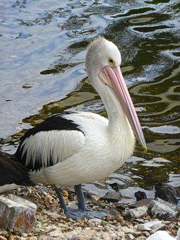 Pelican, Water, Conspicillatus, Waterbird, Beak, Pink
