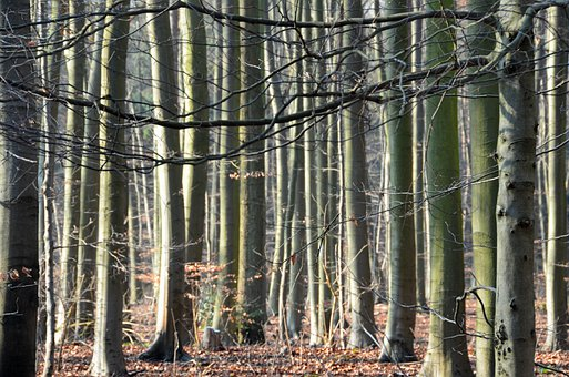 Forest, Trees, Sunlight, Back Light, Baustamm, Nature