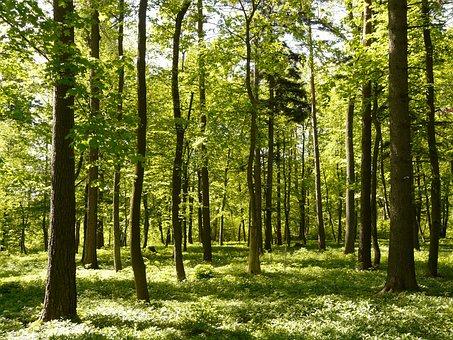 Forest, Spring, Sunlight, Fresh, Tree, Trees, Leaves