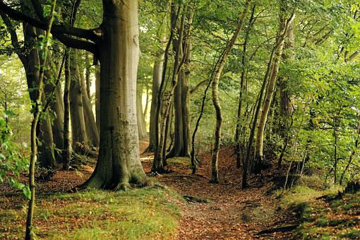 Beech, Tree, Forest, Late Summer, Leaves, Nature