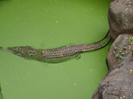 Alligator, Wildlife, Nature, Reptile, Crocodile