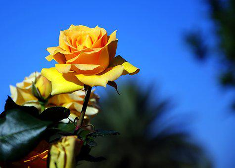 Yellow Rose, Fragrant, Blooming, Spring