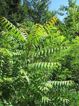 Ailanthus Altissima, Invasive, Plant, Botany, Flora